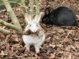 rabbits eating garden